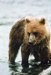 Grizzly Bear - Conservation NW