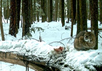 wildlife-monitoring-bobcat